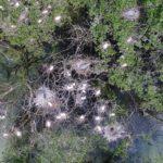 Cartographie d'une zone de nidification d'ardéidés dans le marais de Gannedel (35)